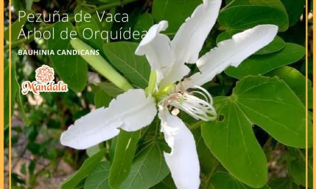 Planta del día: Bauhinia Candicans – Pezuña de vaca