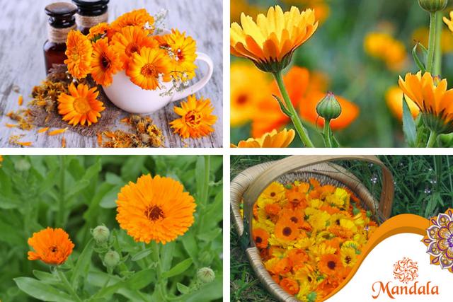 Caléndula: Medicina en flor…